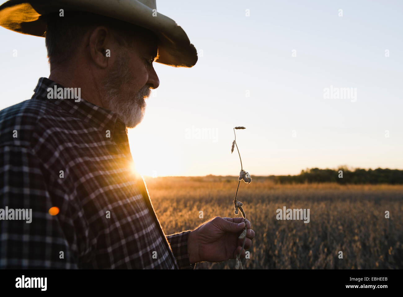 Senior male farmer looking at stem from soybean crop, Plattsburg, Missouri, USA - Stock Image
