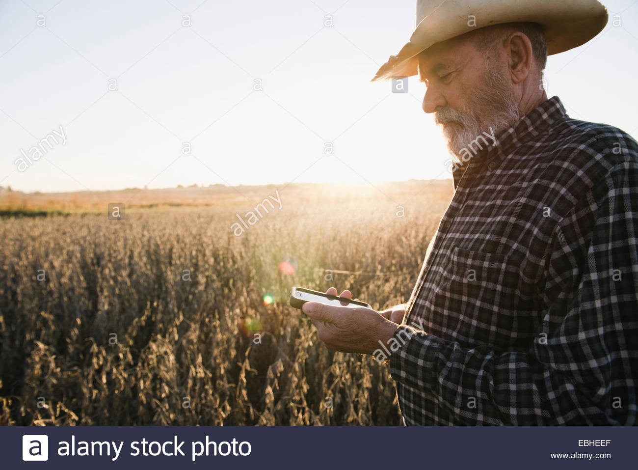 Senior male farmer reading text message on smartphone in soybean field, Plattsburg, Missouri, USA - Stock Image