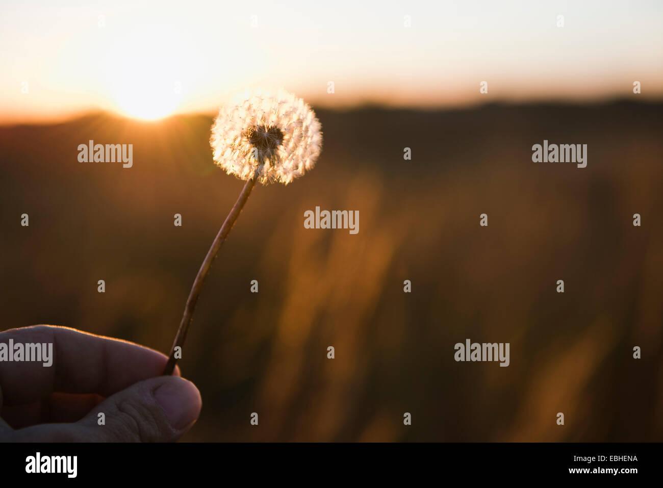 Farmers hand holding up dandelion clock at sunset, Missouri, USA Stock Photo