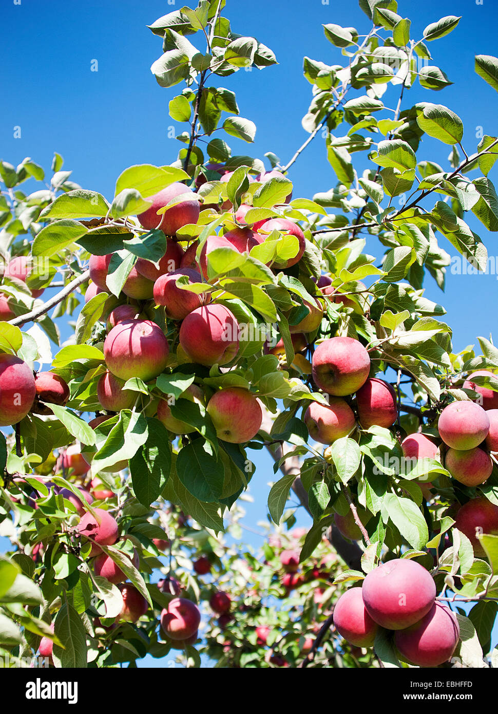 Apple tree with fruit - Stock Image
