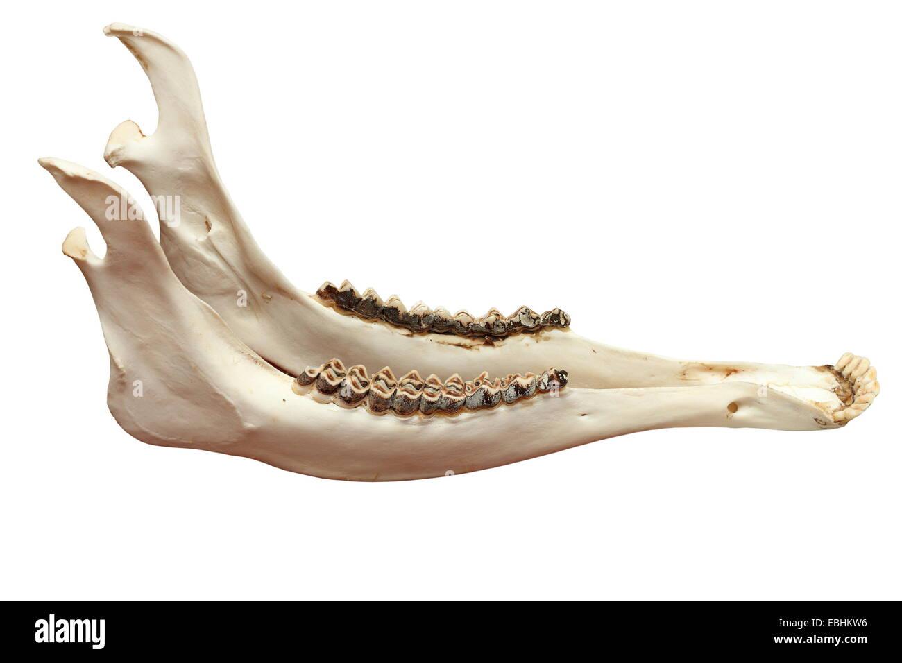 cervus elaphus ( european red deer ) mandible, isolation over white ...