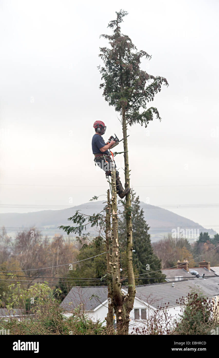 Tree surgeon cutting down conifer in garden, Llanfoist, Wales, UK - Stock Image
