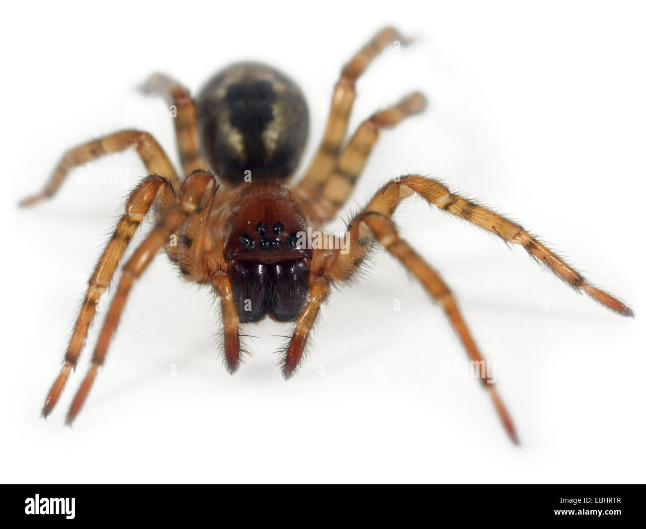 A Window lace-weaver (Amaurobius fenestralis) on white background. Window lace-weaver spiders are part of family Stock Photo