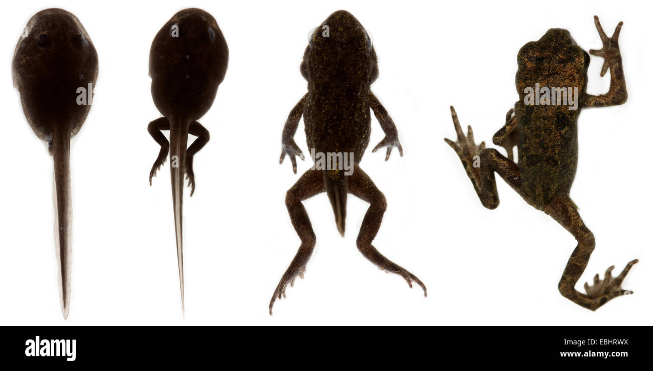 Four images showing the transformation from a tadpole to a frog, on white background. - Stock Image