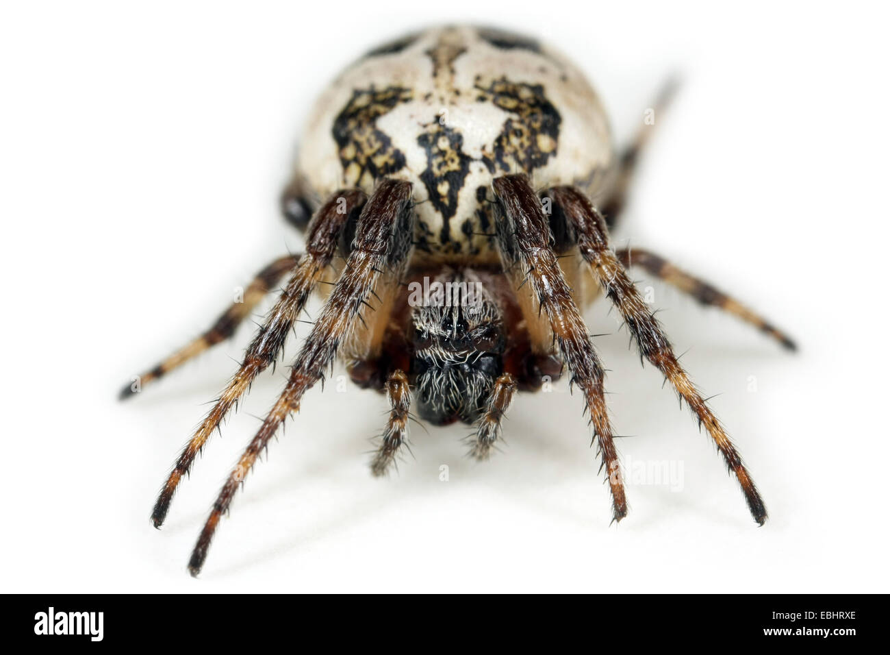 A female Furrow Orbweaver (Larinioides cornutus) on white background. Family Araneidae, Orbweaving spiders. Stock Photo