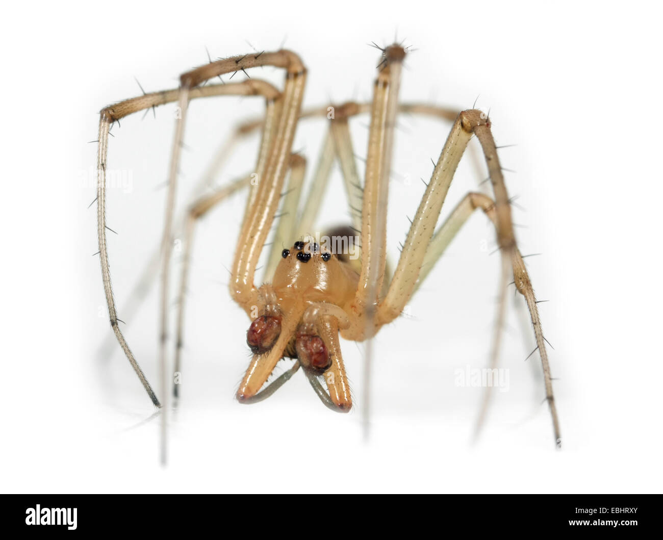A male Common Hammock-weaver (Linyphia triangularis) spider on a white background, part of the family Linyphiidae - Stock Image
