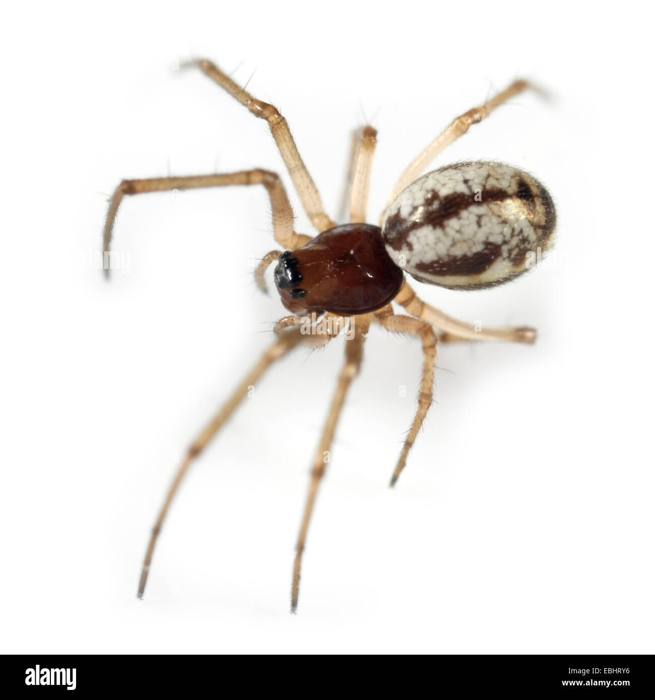 A female Small Hanky-Weaver (Microlinyphia pusilla) spider on a white background, part of the family Linyphiidae - Stock Image