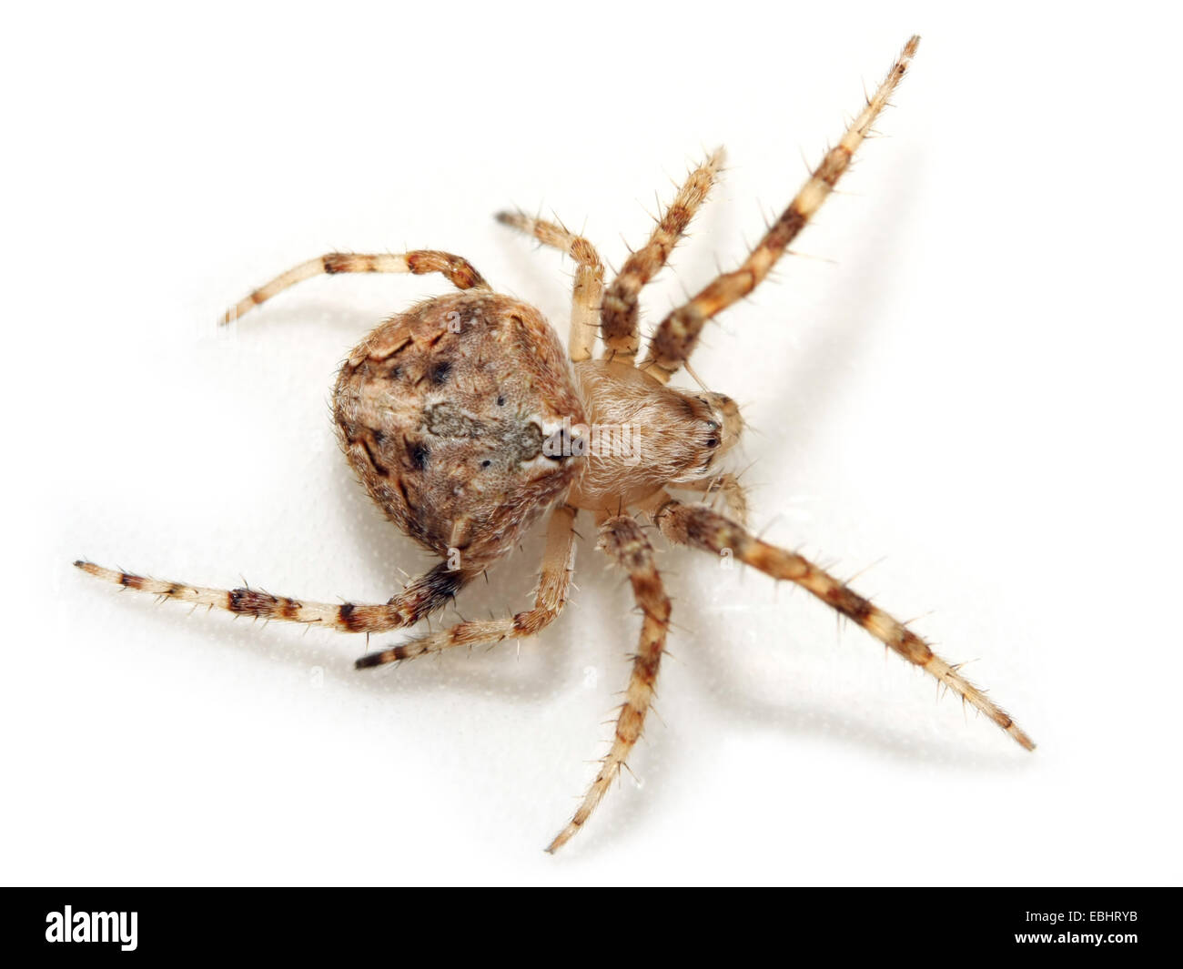 A female orbweaving spider (Neoscona subfusca) on white background. Orbweavers are part of the family Araneidae. - Stock Image