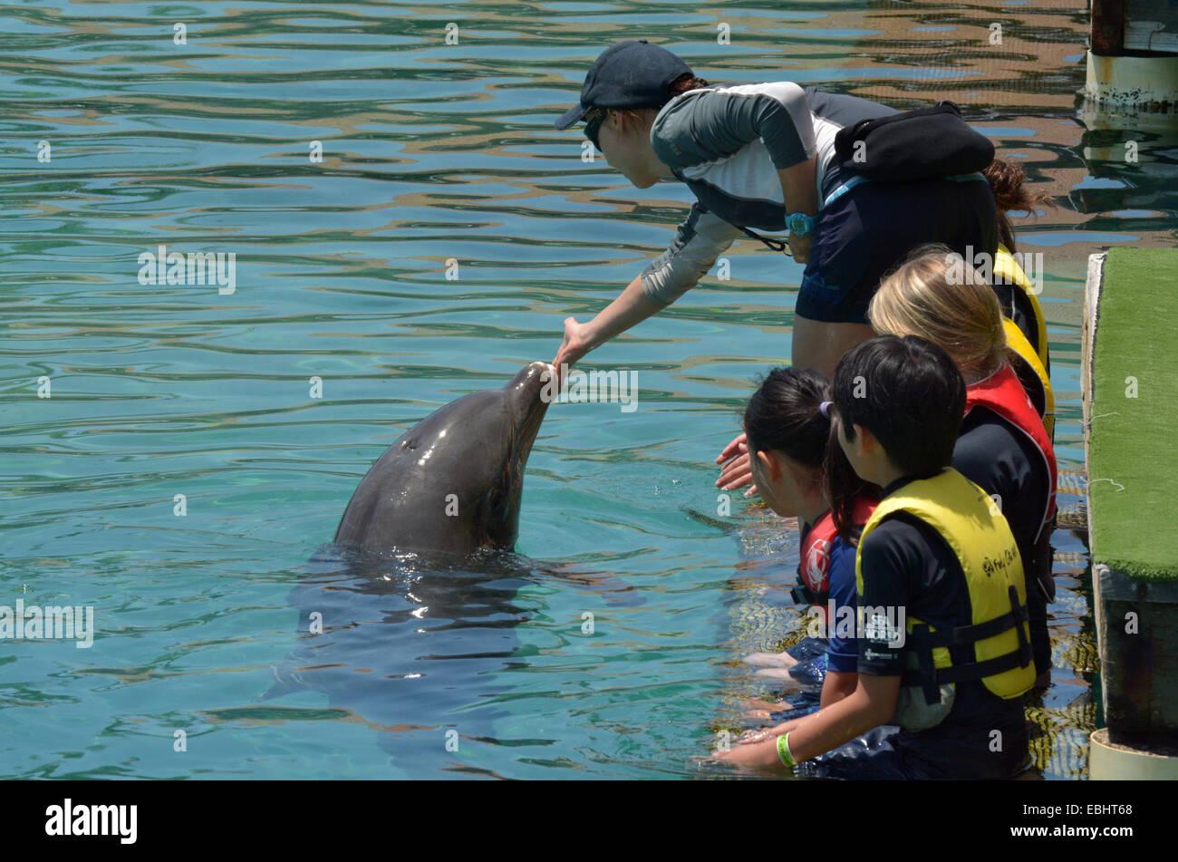 GOLD COAST, AUS -  NOV 06 2014:Visitors interact with Delphine in Sea World Gold Coast Australia.It's sea animals - Stock Image
