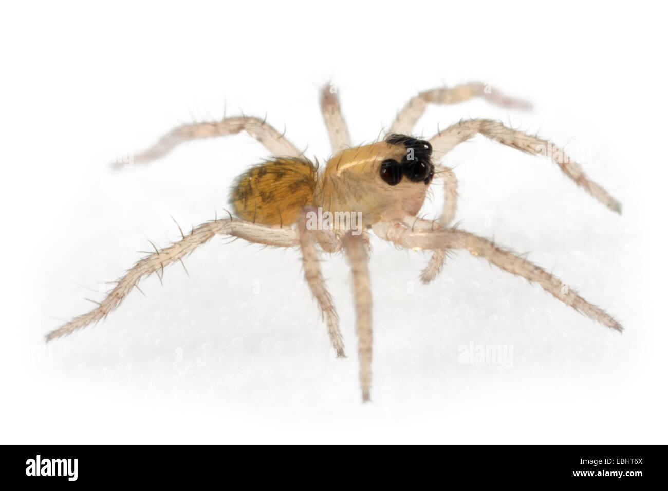 A Common Wolf-Spider (Pardosa pullata) spiderling, part of the family Lycosidae - Wolf spiders. - Stock Image