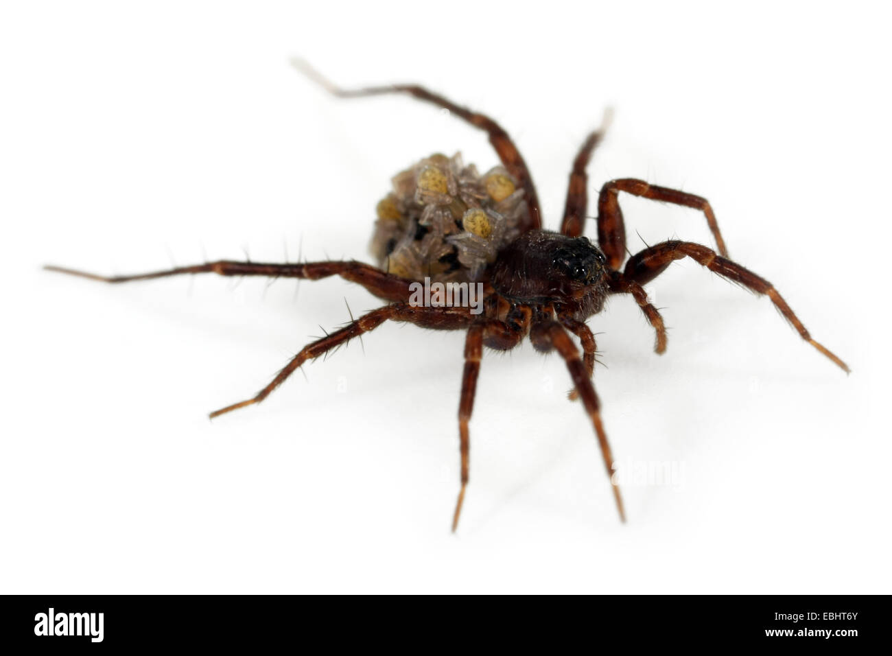 A female Common Wolf-Spider (Pardosa pullata), carrying its spiiderlings on its back, part of the family Lycosidae Stock Photo