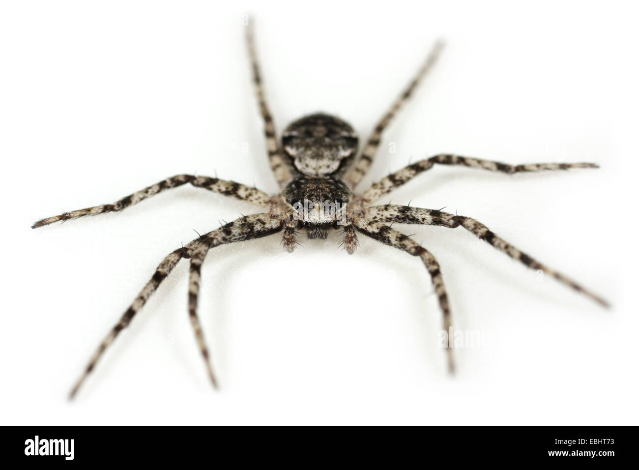 Lichen Running-spider (Philodromus margaritatus) on a white background, part of the family Philodromidae - Running - Stock Image