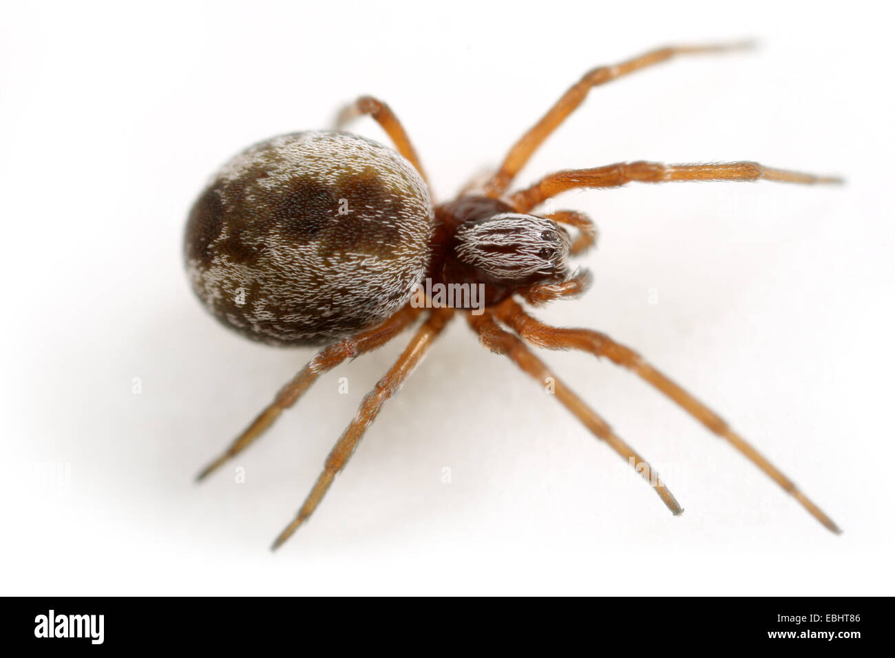 Female Dictyna arundinacea spider on white background. Family Dictynidae, Meshweb weavers. - Stock Image