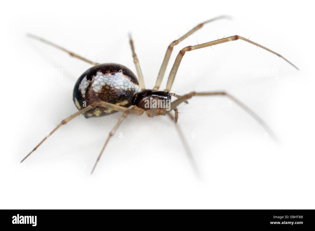 Female Neriene peltata spider on white background, Family Linyphiidae, Sheetweb weavers. Stock Photo