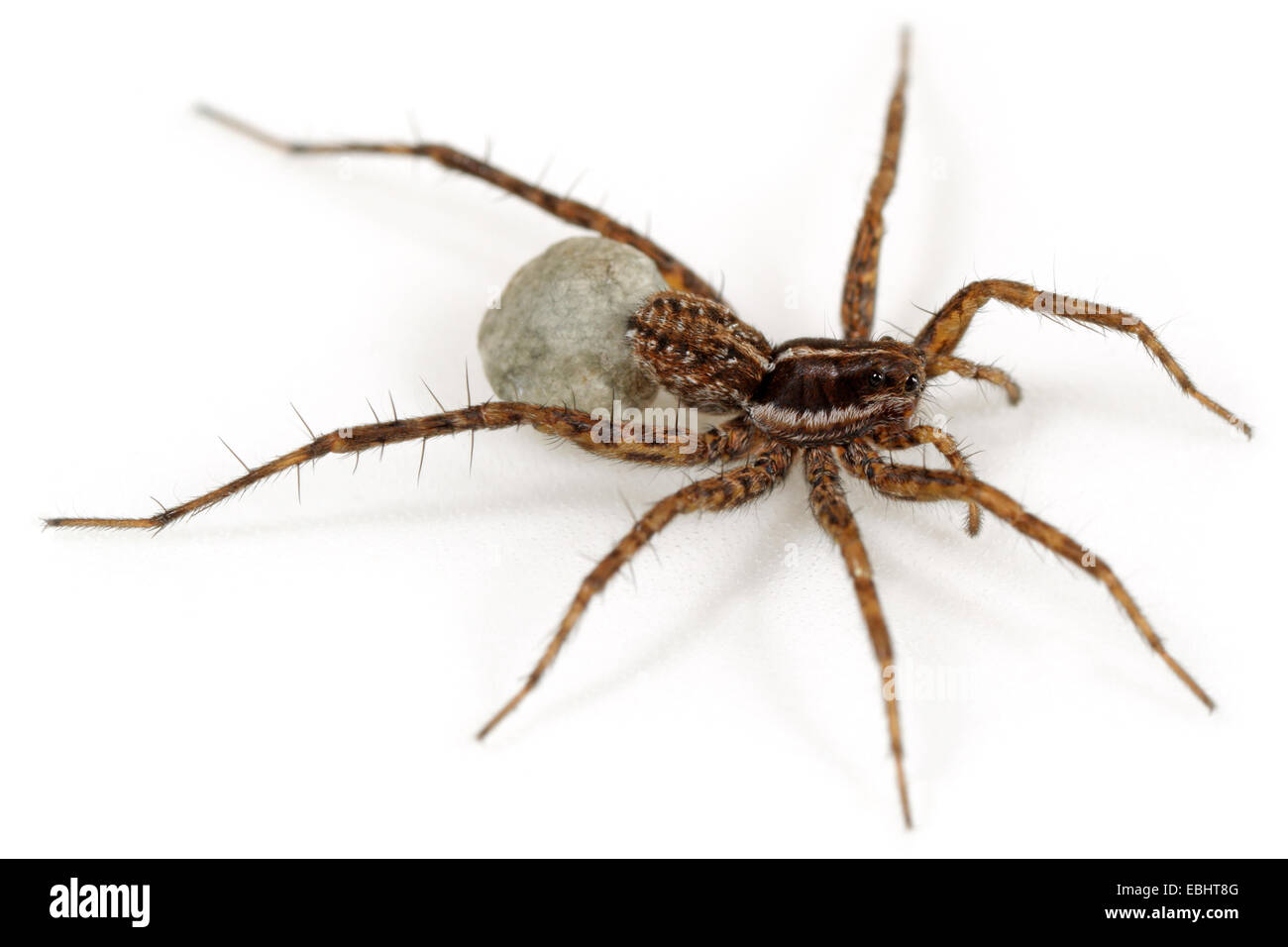 Female Pardosa palustris spider on white background. Family Lycosidae, Wolf spiders. The spider is carrying an egg Stock Photo