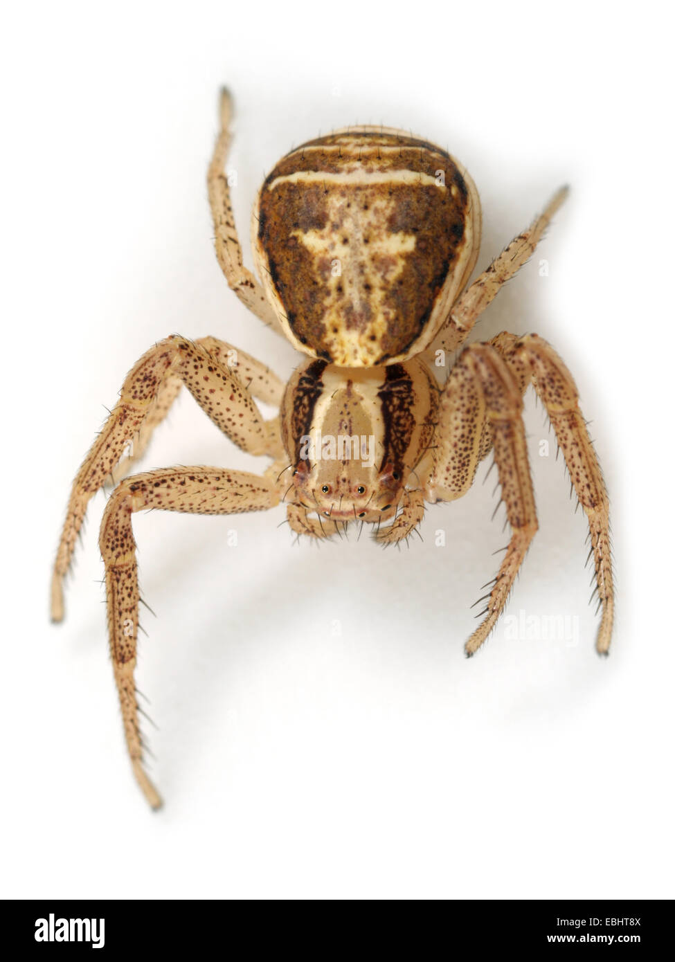 (Xysticus ulmi) Female Xysticus ulmi spider on white background. Family Thomisidae, Crab spiders. Stock Photo