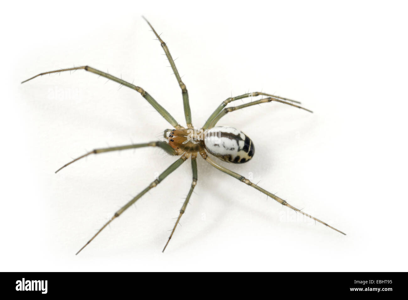 A female Black-Tailed Hammock-Spider (Neriene emphana) on a white background, part of the family Linyphiidae - Sheetweb Stock Photo