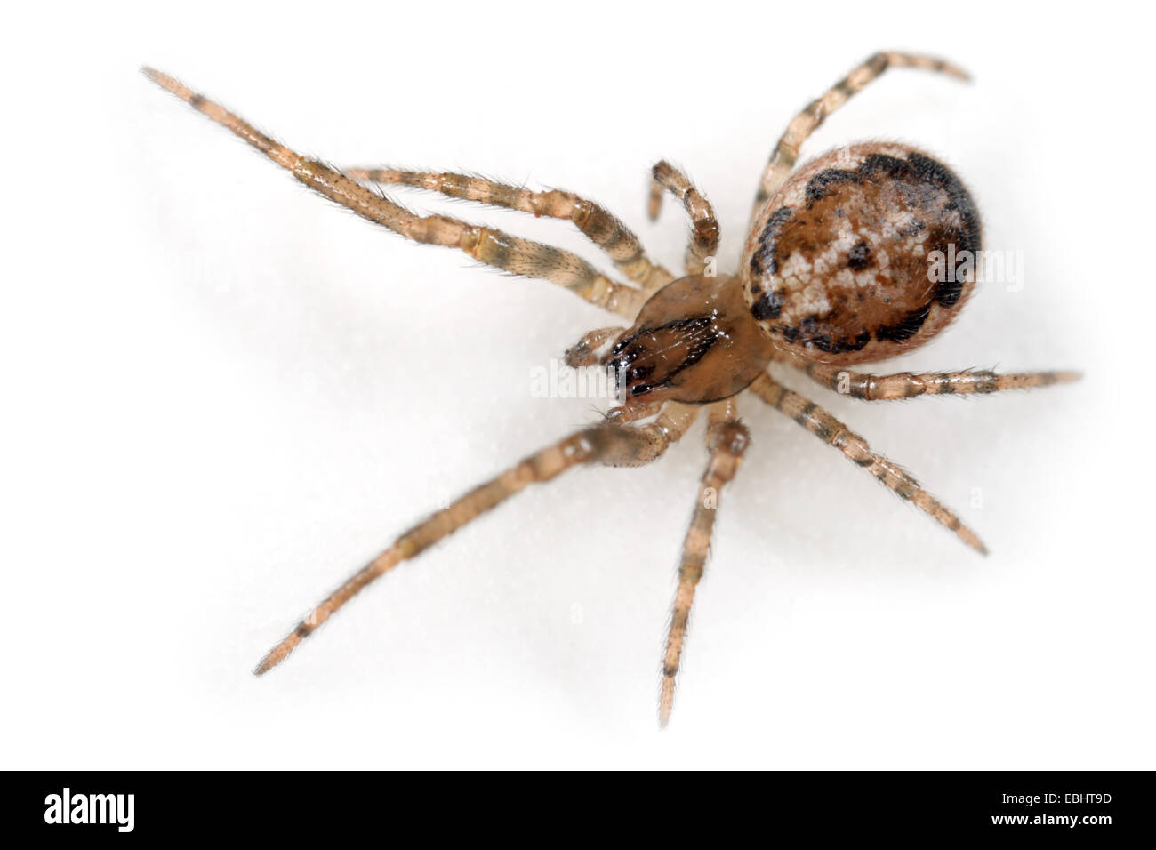 Female orb-weaving spider (Stroemiellus stroemi) on a white background. The spider is part of the family Araneidae, - Stock Image