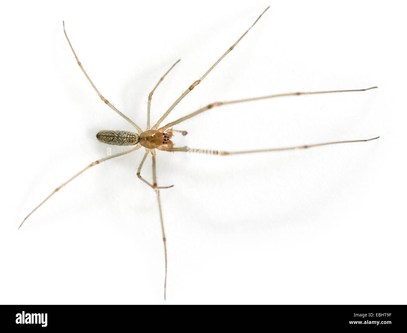 A male Common Stretch-spider (Tetragnatha extensa), on a white background, part of family Tetragnathidae - Long - Stock Image