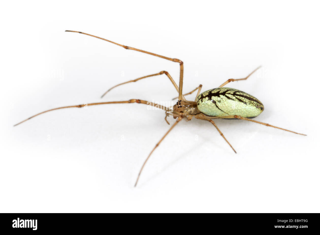 A female Common Stretch-spider (Tetragnatha extensa), on a white background, part of amily Tetragnathidae - Long - Stock Image