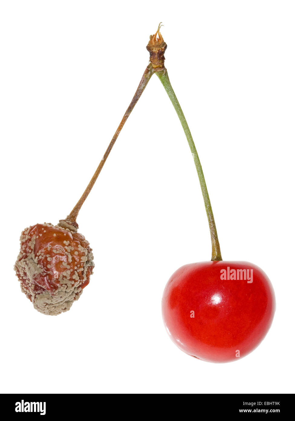 Two cherries, one infected by Brown rot (Monilinia fructigena), a fungus disease. - Stock Image