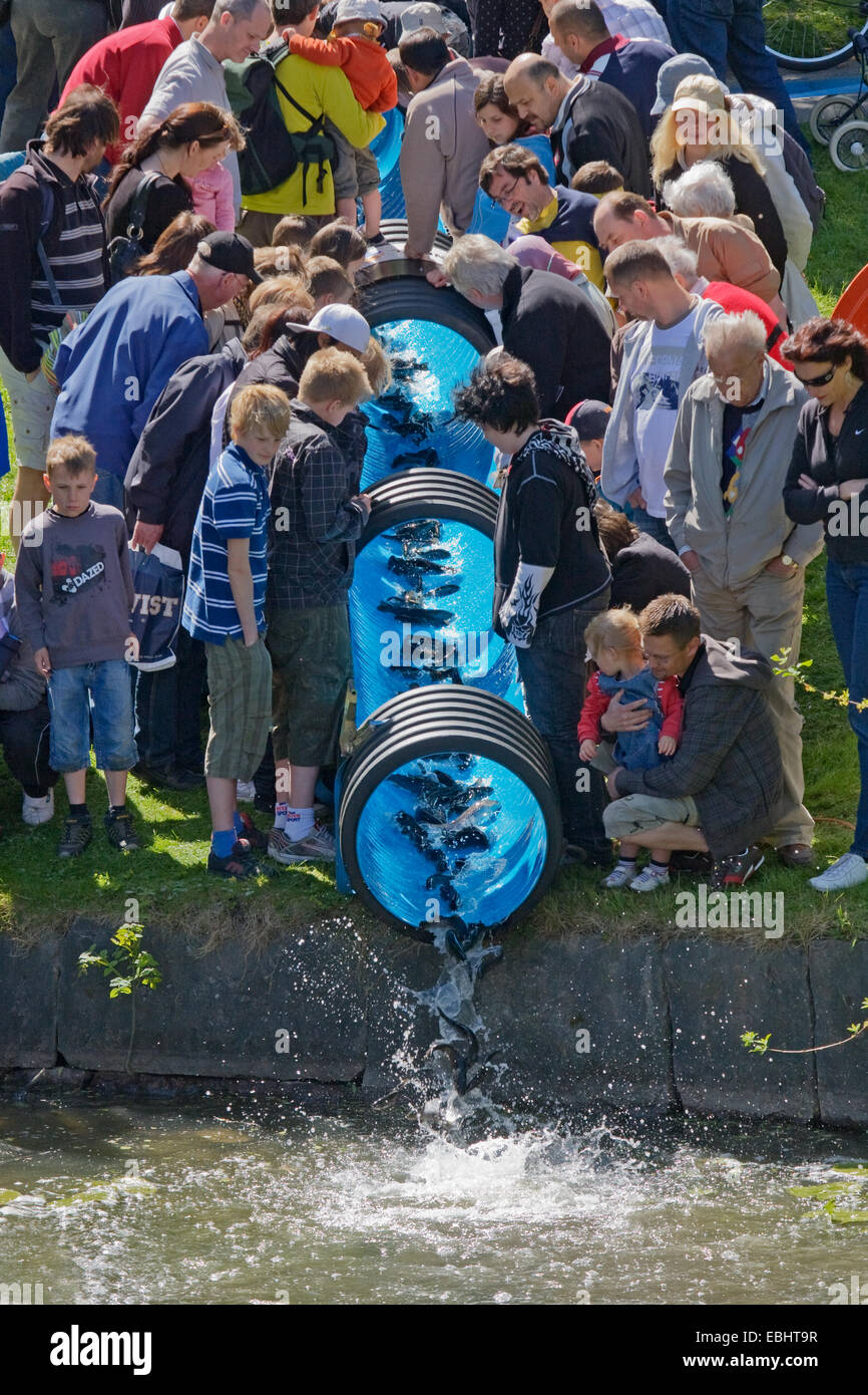 People in Nykoping, Sweden, watching young Sea trouts (Salmo trutta) being released into a river by a water slide. Stock Photo