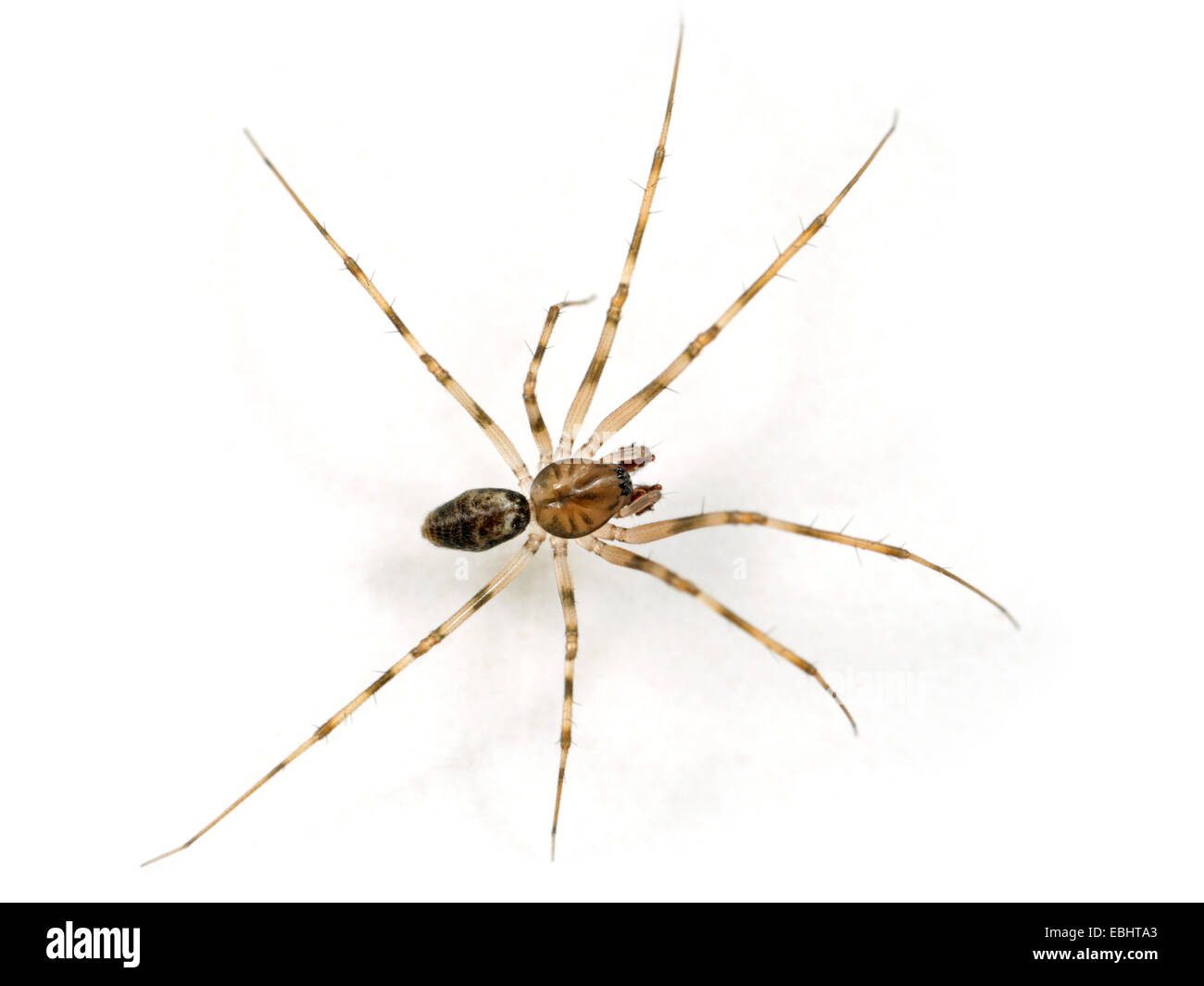 A male Invisible spider (Drapetisca socialis), on white background. It gets its name from beeing hard to spot on Stock Photo