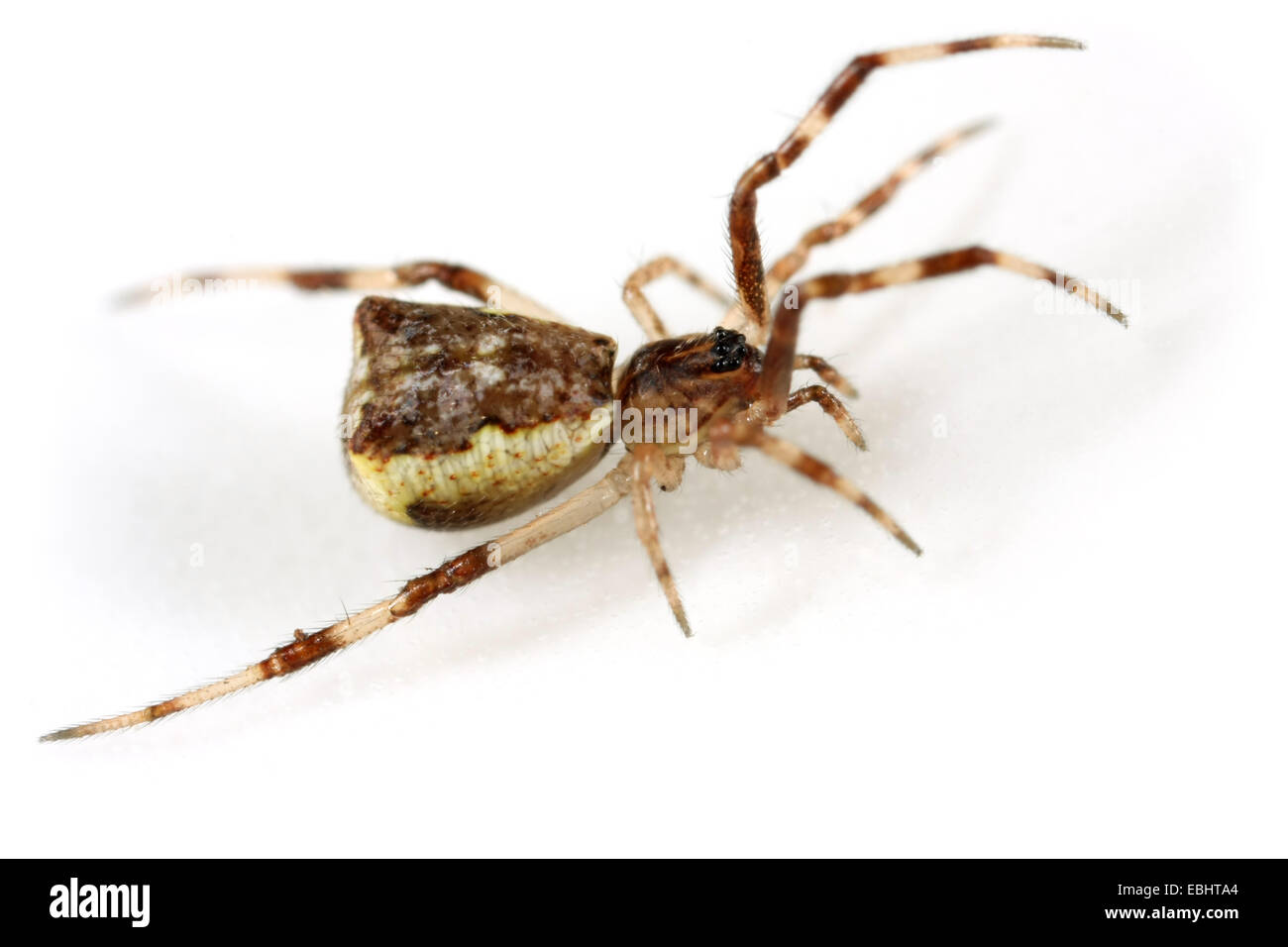 A female comb-footed spider (Episinus angulatus), on white background. Comb-footed spiders are part of the family - Stock Image