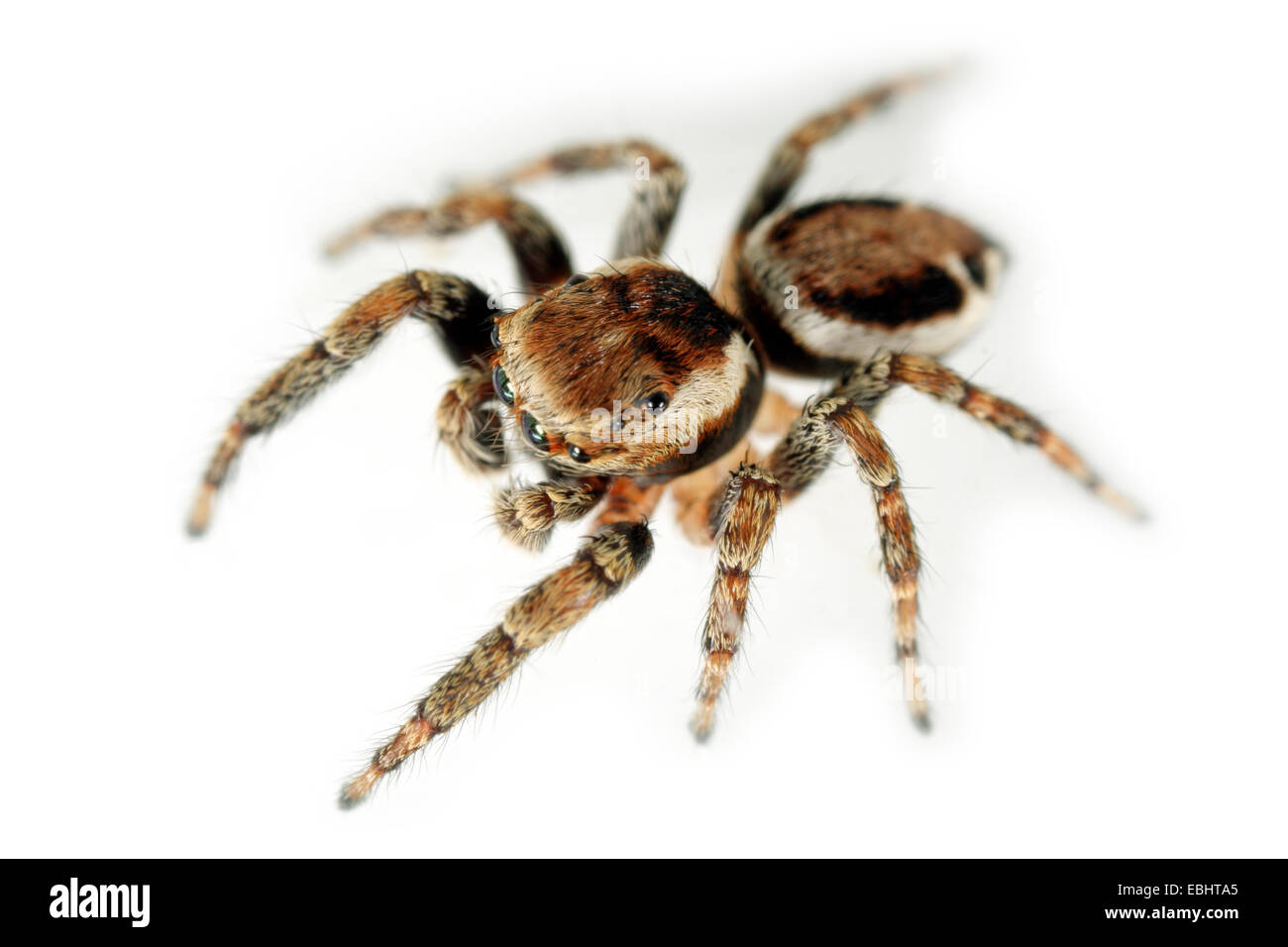 A male jumping spider (Evarcha falcata) on white background. Jumping spiders belong to the family Salticidae. - Stock Image