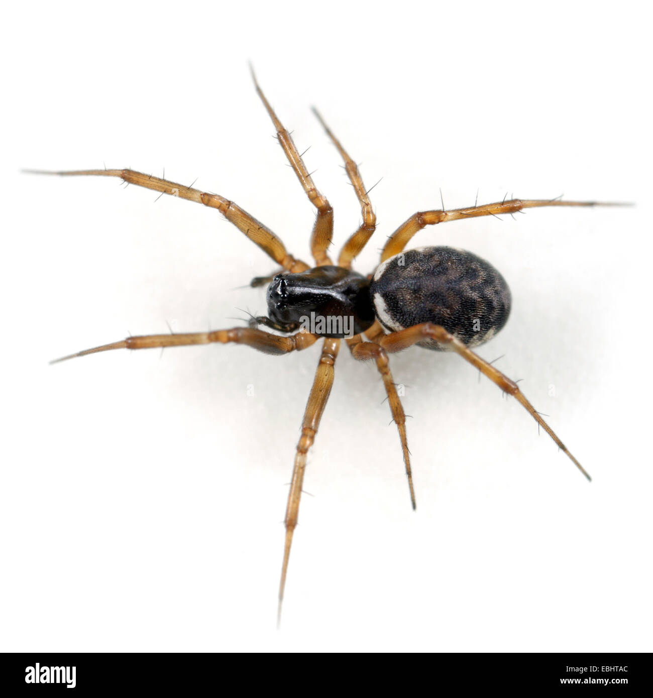 A female sheetweb weaver spider (Neriena clathrata) on white background. The sheetweb weavers are part of the famliy - Stock Image