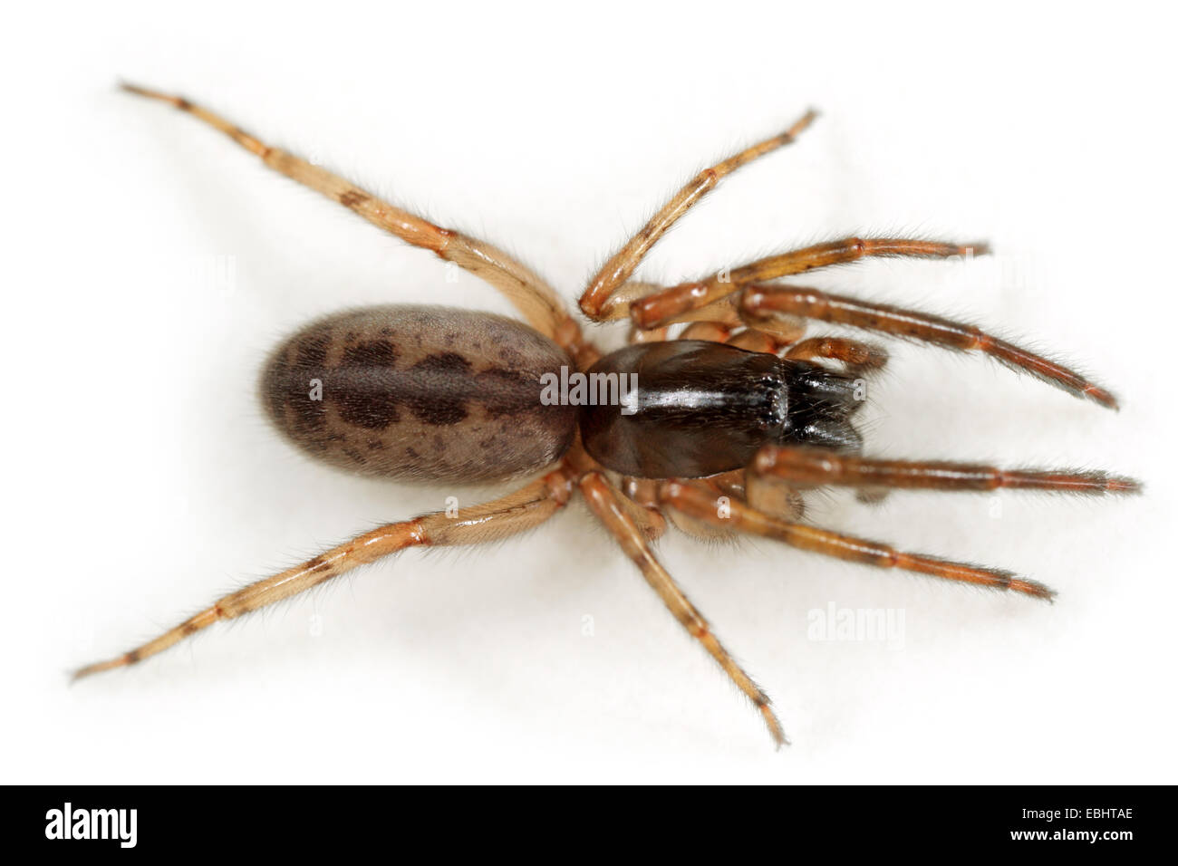 A female Snake-back spider or Leopard spider (Segestria senoculata) on white background. Part of the family Segestriidae, - Stock Image