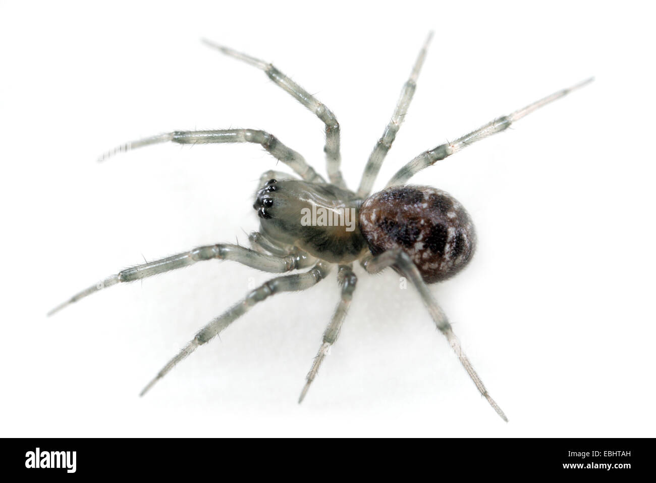 A female sheetweb weaver spider (Tapinopa longidens) on white background. The sheetweb weavers are part of the famliy - Stock Image