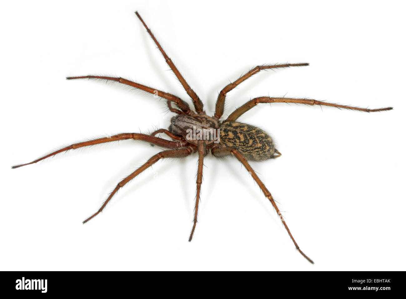 A female House spider (Tegenaria atrica). This spider is one of the largest House spiders, part of the family Agelenidae, - Stock Image