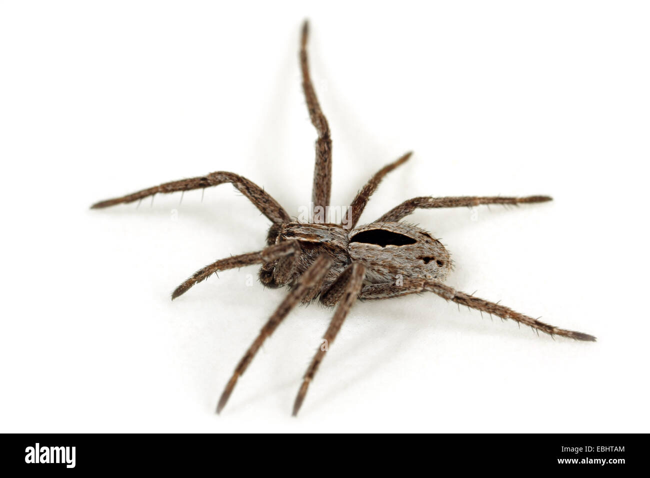 A juvenile male (Thanatus formicinus) spider on white background. This spider is part of the family Philodromidae, - Stock Image