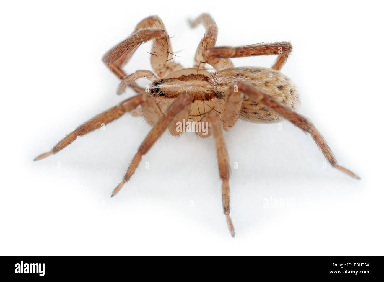 A female (Zora spinimana) spider on white background. The spider is part of the family Zoridae, Wandering spiders - Stock Image