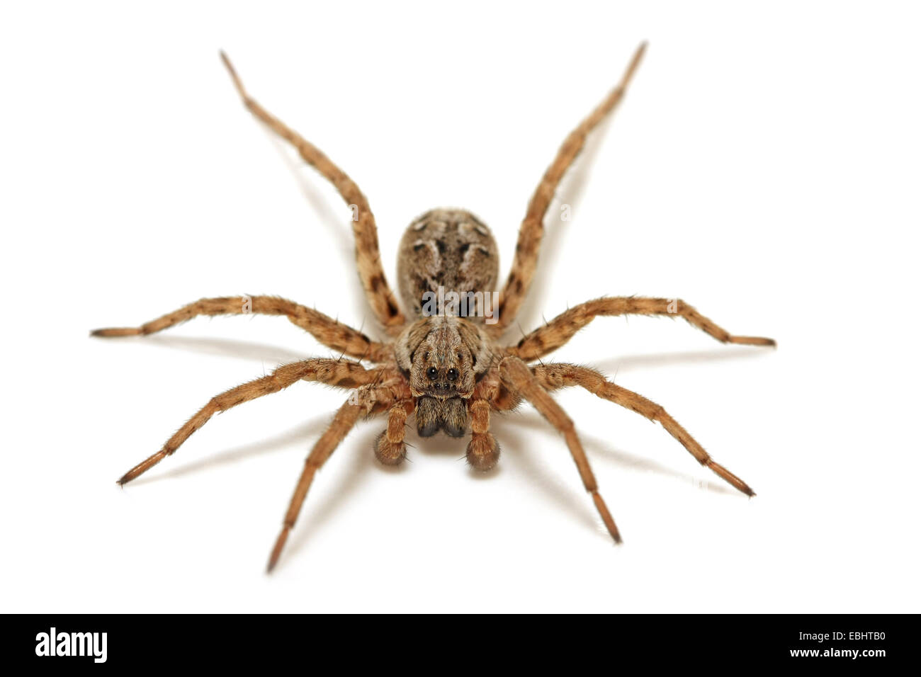 A Male Wolf spider (Alopecosa fabrilis) on white background. Wolf spiders are part of the family Lycosidae. - Stock Image