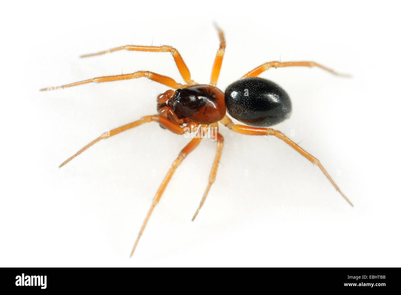 A Male Dwarf spider (Gongylidium rufipes) on white background. Dwarf spiders are part of the family Linyphiidae. - Stock Image