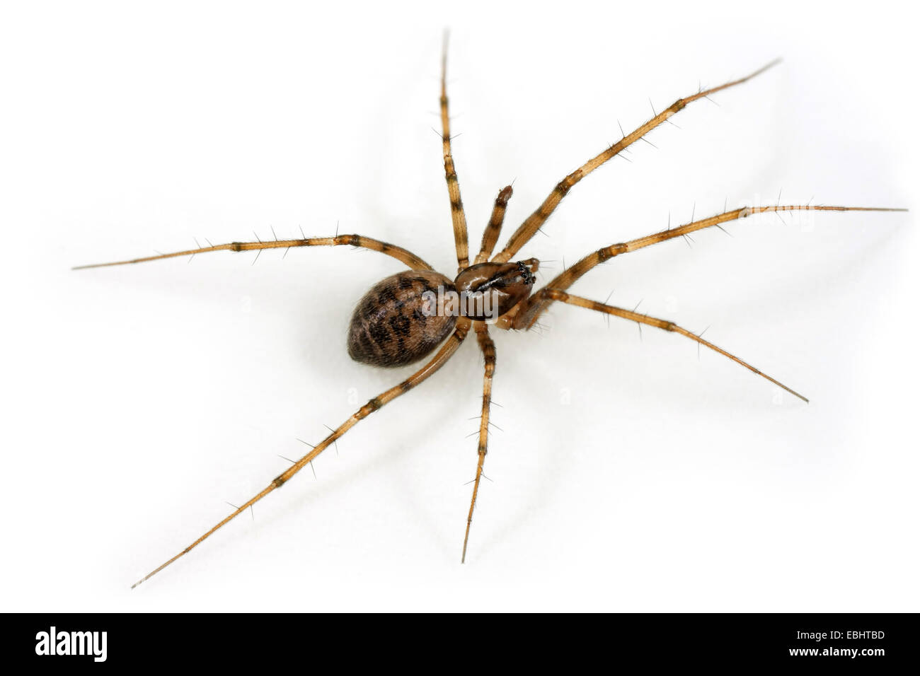 A Female Sheetweb weaver (Lepthyphantes nebulosus) on white background.  Sheetweb weavers are part of the family - Stock Image