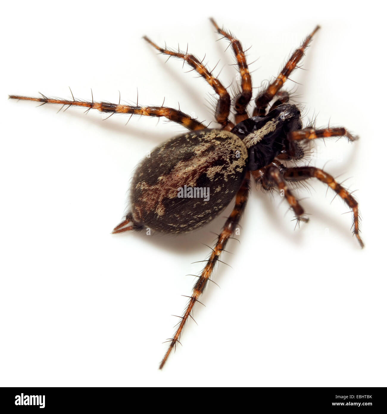 Female Funnel weaver (Textrix denticulata) on white background.  Funnel weavers are part of the family Agelenidae. - Stock Image