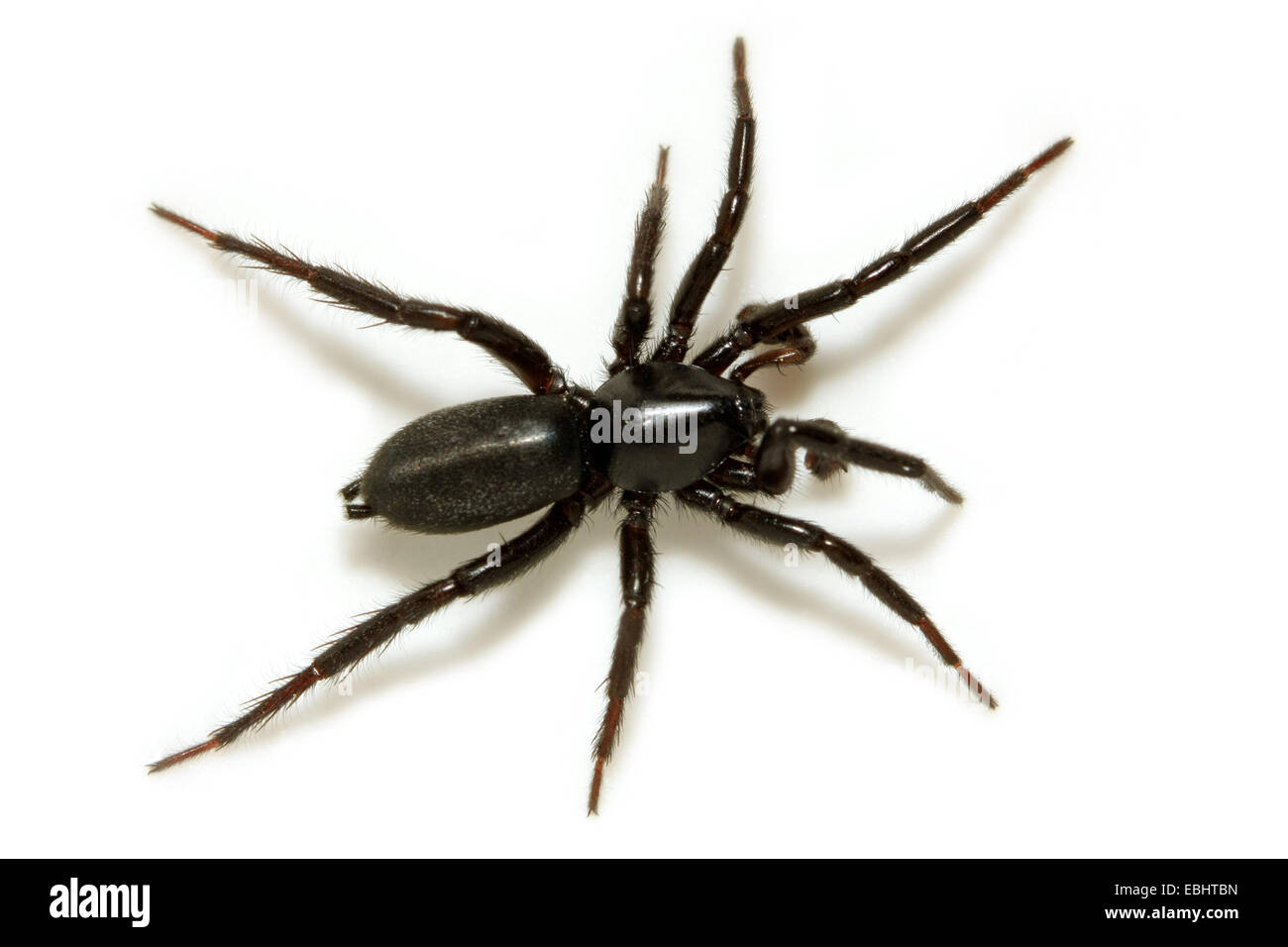 A male Ground spider (Zelotes subterraneus) on white background. Ground spiders are part of the family Gnaphosidae. - Stock Image