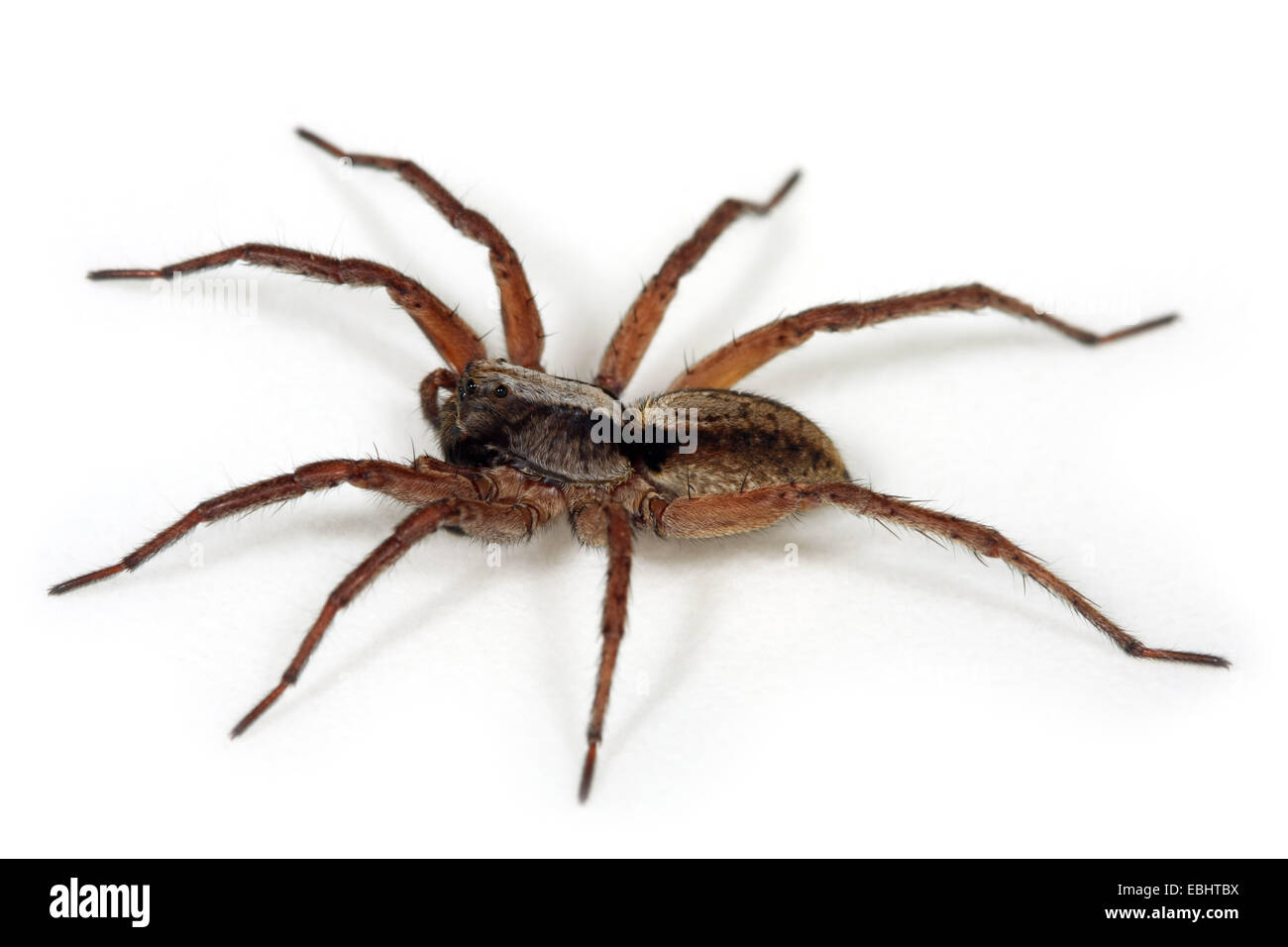 A Female Wolf spider (Alopecosa aculeata) on white background. Wolf spiders are part of the family Lycosidae. - Stock Image