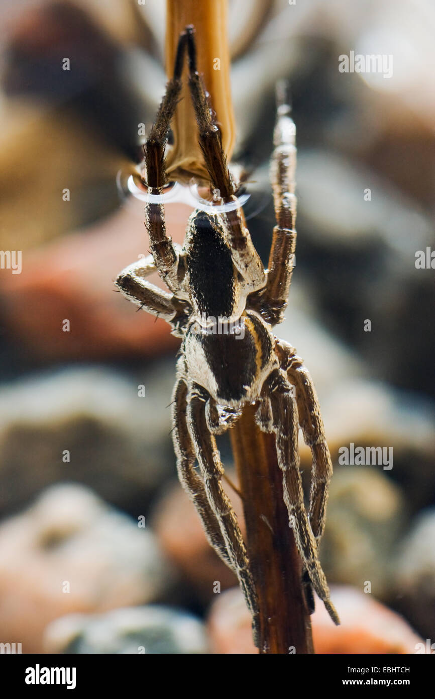 An almost submerged male fen raft spider (Dolomedes plantarius), a semi-aquatic fishing (or raft) spider. - Stock Image
