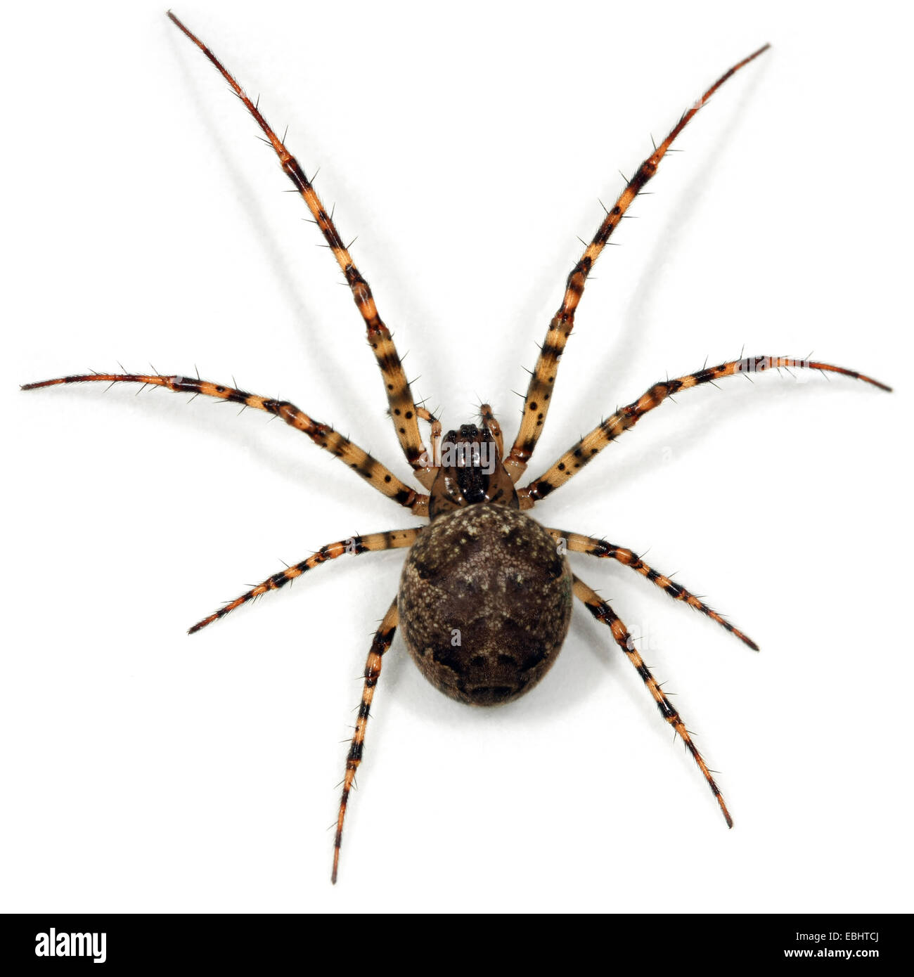 A female longjawed orbweaver (Metellina merianae) on a white background. Longjawed orbweavers are part of the family - Stock Image