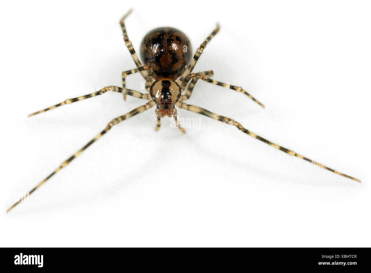 A female Cave Cobweb spider (Nesticus cellulanus) on white background. Family Nesticidae, Cave Cobweb spiders. - Stock Image