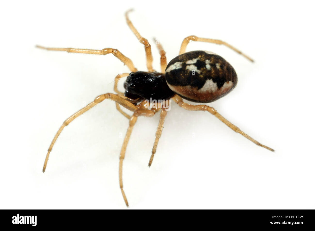 A female longjawed orbweaver (Pachygnatha degeeri) on white background. Longjawed orbweavers are part of the family - Stock Image