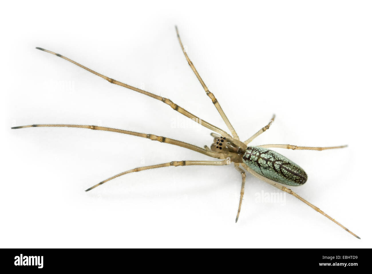 A female longjawed orbweaver (Tetragnatha pinicola) on a white background. Longjawed orbweavers are part of the - Stock Image