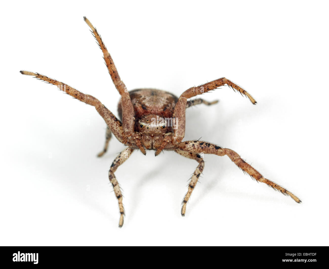 A female Crab spider (Xysticus cristatus) on white background. Family Thomisidae, Crab spiders. The spider is waving - Stock Image