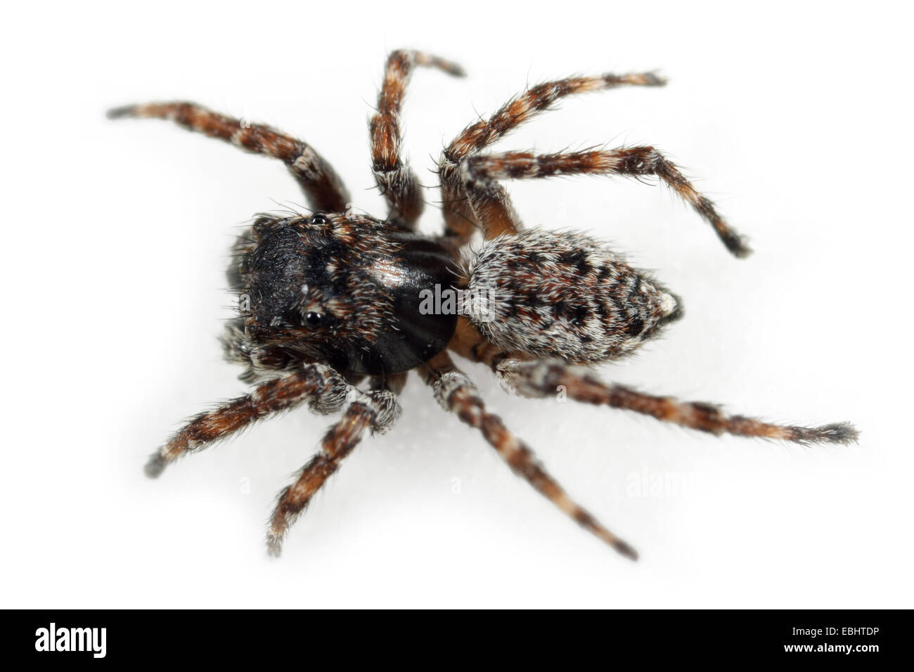 Male Sitticus pubescens, part of the famliy Salticidae, - Jumping spiders. - Stock Image