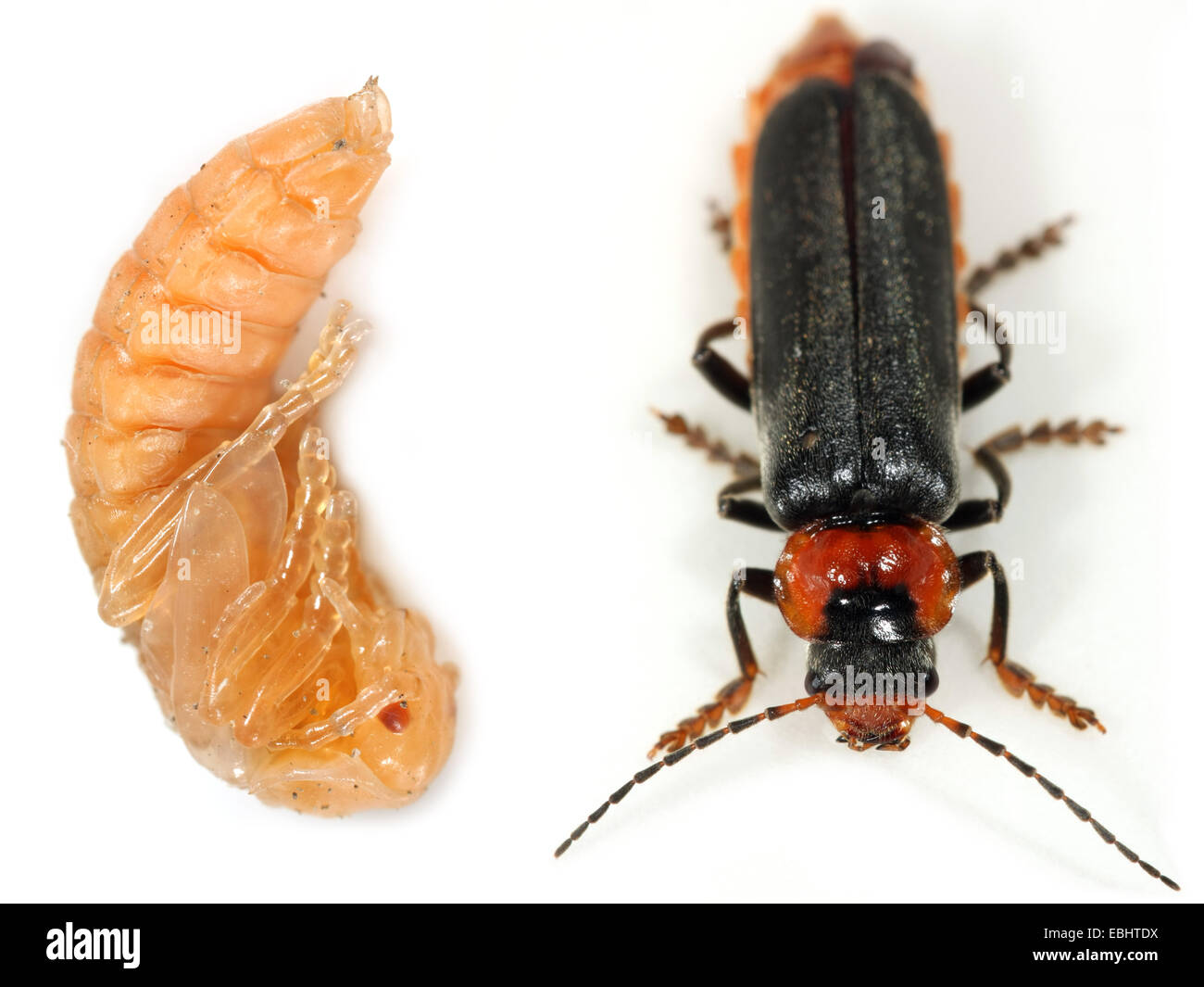 A soldier beetle or leatherwing (Cantharis fusca) as a pupa and in the final imago stage. - Stock Image