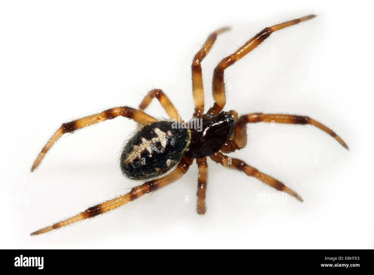 A female False Widow spider (Steatoda paykulliana) on white background. Part of the family Theridiidae - Cobweb - Stock Image